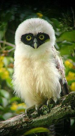 juvenile Spectacled Owl, Suriname: Animals, Baby Spectacled, Birds Owl, Juvenile Spectacled, Baby Owl, Beautiful Birds, Owls