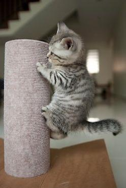 Kitten: Cats, Animals, Kitty Cat, Pets, Scratching Post, Adorable, Kittens, Kitties