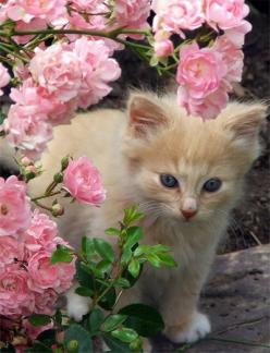 Kitten in the rose garden, posted via theenchantedcove.tumblr.com: Pink Flower, Kitty Cats, Animals, Pets, Roses, Kitty Kitty, Kittens