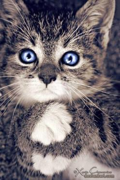 kitty with bright blue eyes: Cats, Beautiful Cat, Kitty Cat, Kitten, Pet, Blue Eyes, Kitty Kitty, Animal