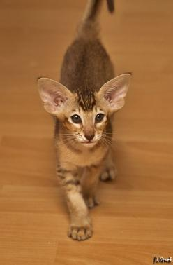 Large ears for an oriental shorthair kitten to grow into!: Cats Cats, Oriental Shorthair Cats, Baby Face, Future Cat, Oriental Cats, Cats Dogs, Cats Funny
