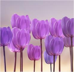 Lavender Tulips <3: Purple Tulips, Lilac Tulips, Purple Passion, Color Purple, Lavender Tulips, Flowers, Garden
