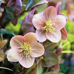Lenten Roses ~ Bugs won't eat them. Deer won't munch on them. Heat and drought won't faze them. And when it comes to beautiful blooms in the dead of winter, no other perennials can touch them.: Roses Southern, Roses Hellebores, Perennial, Lent