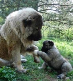 Leonberger bear...I mean dog, and puppy ;)  So fluffy!: Doggie, Animals, Pet, Puppy, Caucasian Shepherd, Caucasian Ovcharka, Friend, Big Dogs