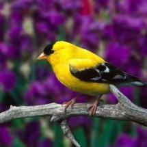Let me know if you know the species name. #bird: Animals, Color, Wallpaper, American Goldfinch, Beautiful Birds, Photo
