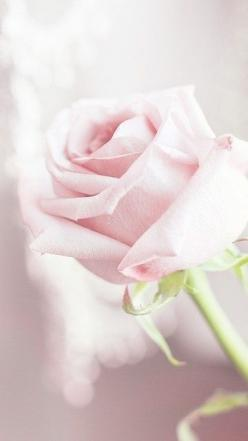 Light pink roses are a favorite of mine.: Pastel, Pink Roses, Beautiful Roses, Pale Pink, Pink, Flowers, Garden