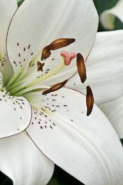 Lilium 'Eyeliner' photographed at Longwood Gardens' Lilytopia exhibit by Cindy Dyer: Spring Flower, Lily Eyeliner, Lilies, Beautiful Flowers, Beauty, Lillies Flower, Flowers, Flowers Garden