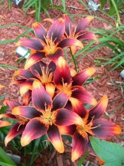 Lily 'Starlette' so pretty it doesn't even look real.: Gorgeous Flower, Beautiful Flowers, Tattoo, Lily Starlette, Flowers Garden, Starlette Lily, Pretty Flower, Favorite Flower