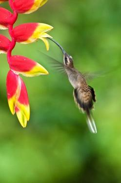 Long-billed Hermit: Beautiful Flower, Hummingbirds ️, A Colibri, Hummingbird, Beautiful Hummingbirds, Hummingbirds Feeders, Bird Tweets, Humming Bird, Birds Hummingbirds