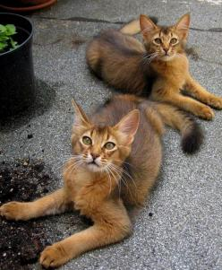 Long-haired abyssinians - Somali cats: Kitty Cats, Animals, Somali Cats, Beautiful Cats, Haired Abyssinian, Kitty Kitty, Feline, Abyssinian Cats