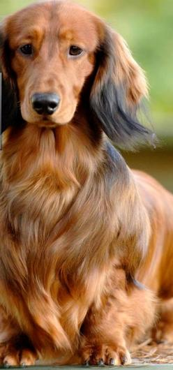 Long haired Daschund ~ our family pet when I was growing up ~ Suki.: Long Haired Dachshund, Dogs, Pets, Animals Doxies, Better Hair, Long Haired Doxies