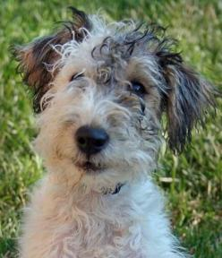Look at that face. This one is a wire haired Fox Terrier.: Animals, Fox Terriers, Haired Fox, Wired Hair, Dog, Hair Fox