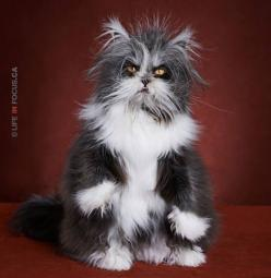 LOVE this kitty!! He has some sort of disorder that causes him to grow excess fur, but it's so adorable! He looks like a little werewolf! :): Ellen Degeneres, The Grinch, Animals, Real Cat, Atchoum Cat, Persian Kittens, Pets, Persian Cats, Atchoum The