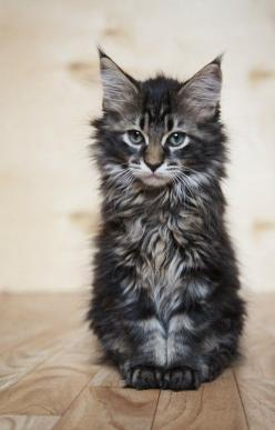 Maine coon kitten: Big Cat, Animals, Pet, Main Coon Kitten, Maine Coon Kittens, Kitty, Cats Kittens, Coon Cat, Mainecoon