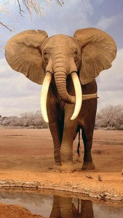 Majestic, beautiful, powerful creatures. There will never be an animal more beautiful to me. -- -- African Elephant: African Elephant, Wild Animal, Beautiful Elephant, Dad, Animals Elephants, Elephant, Africa Animal