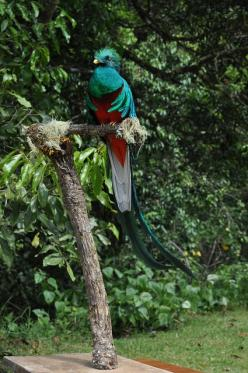 Male Resplendent Quetzal on a mount located at the QERC, San Gerardo de Dota, Costa Rica.: Birds Exotic Birds, Designs In Nature, Design Patterns, Costa Rica, God, Beauty In Nature, Male Resplendent