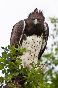 Martial Eagle (Polemaetus bellicosus) is a large eagle found in open and semi-open habitats of sub-Saharan Africa. It is the only member of the genus Polemaetus.: Wild Animal, Raptor, Martial Eagle, Eagles, Birds
