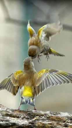 MId air kiss: Animal Kiss, Beautiful Birds, Flying Kiss, Yellow Birds