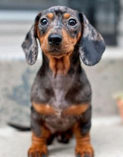 mini ature dachshunds | Miniature Dachshund Smooth-haired Breed Information: History, Health ...: Baby Dapple, Animals, Dogs, Dapple Dachshunds, Doxie S, Doxies, Puppy, Miniature, Dapple Dachshund Puppies
