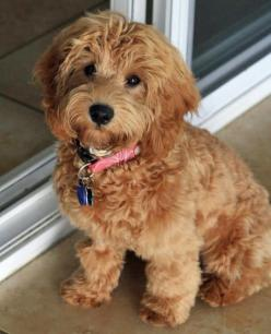 Mini labradoodle. These are one of the cutest dogs.  I wonder how many end up in shelters.  Adopt a shelter pet is the only way to go!: Labradoodle Puppies, Dogs, Mini Labradoodle, Google Search, Puppy, Goldendoodle, Labradoodle Google, Animal