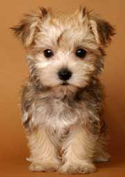 Morkie puppy!  Adorable!!    But, PLEASE never buy from a web site.  According The Humane Society almost all of these type of web sites in the US are run by just a few very large puppy mills.: Face, Cute Puppies, Morkie Puppy, Morkie Maltese, Baby, Dog, F