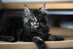 Mountain Fork Maine Coon Kittens, Imported European bloodlines, Maine Coon Kittens for sale, Maine Coon Kittens Oklahoma, CFA Registered Mai...: Cats Big Small I All, Cats Xd, Maine Coon Kittens For Sale, Coon Cats Kittens, Cats Пошук, Maine Coon Cats, 22