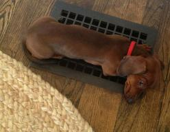 ♥ My Little Peachie's favorite spot was in front of the heating/air conditioning vent (depending on the season) under the kitchen sink.: Heater Hog, Heater Vent, Doxie Thing, Doxie S, Doxies, Weiner Dogs, Dachshund S