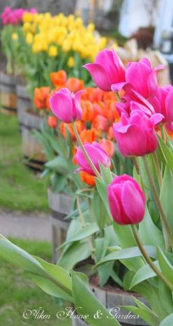 My mother always had lots of tulips. I remember planting them with her when I was young.: Flowers Tulip, Spring Time, Tulips Garden, Color, Beautiful, Aiken House, House Gardens, Favorite Flower