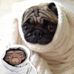 No wonder I love my little pug so much....I LOVED ET when that movie came out!  LOL: Twin, Movie, Puggie, Dog, Alike, Phones, Animal
