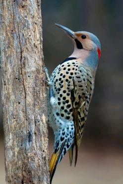 Northern Flicker Woodpecker. Photo by Jason Paluck.: Northern Flicker, Birds Woodpecker, Beautiful Birds, Male Northern, Animal