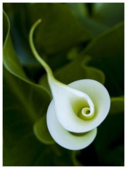 Not sure what species of flower this is...but it looks like a double Calla Lily...: White Flower, Nature, Calla Lilies, Callalily, Beautiful Flowers, Garden, Calla Lily, Favorite Flower