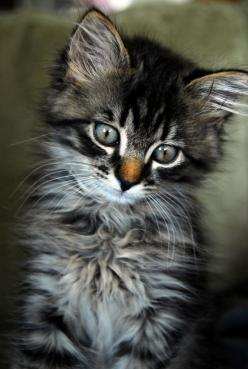 Oh my god. This has got to be the most beautiful cat I've ever seen. Check out his eyes!!!!!: Kitty Cats, Face, Beautiful Cat, Animals, Sweet, Pet, Kitty Kitty, Kittens