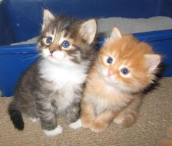 Oh my goodness....ADORABLE!!!: Cute Cats, Animals Hopefully Kittens, Search, Pet, Siberian Cat, Baby, Kittens Cats, Siberian Kittens, Cute Kittens