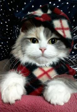 oh you are a gorgeous Christmas kitty: Christmas Cats, Animals, Favorite Shot, Cats Cats Cats, Pet, Kitty Cuteness, Kitty Kitty, Adorable, Photo