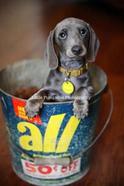 once we get a house with a yard, we are totally getting a second dog. Miniature Daschunds are seriously so adorable!: Animals, Dogs, Pet, Doxie S, Doxies, Puppy, Grey Daschund, Eye