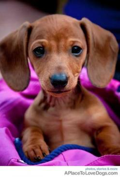 one of my dream breeds to own...among MANY lol - and i dont even like small dogs but something about the Dashunds: Animals, Dogs, Dachshund, Pet, Doxie, Puppy