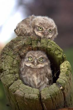 Owl Babies | Amazing Travel Pictures - Amazing Pictures, Images, Photography from Travels All Aronud the World: Babies, Animals, Nature, Owl Babies, Hoot Hoot, Baby Owls, Babies Big, Birds