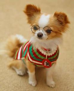 Papillion Scholar (They are the smartest dogs!): Animals, Chihuahuas, Papillion Scholar, Box Market, Pet, Smartest Dogs