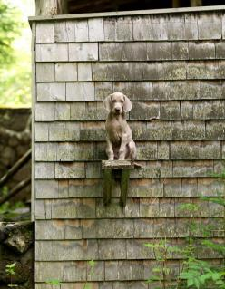 Perch. Photo by William Wegman.: Animals, Puppies Dogs, William Wegman, Dogs Why, Babies 3 Dogs, Puppy, Photo