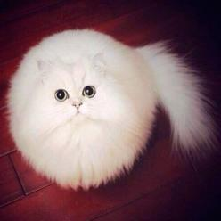 Photoshop Battle Hilariously Reimagines a Round Cat into Fantastic Situations - My Modern Met: Cats, Animals, Kitty Cat, Pet, Fur Ball, Snowball, Kittens, Kitties, White Cat
