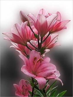 pink lilies: Pink Lilies, Pretty Flowers, Beautiful Flowers, Bloom, Beauty, Flowers, Garden, Flower