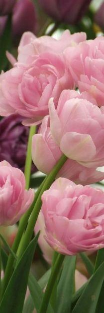 Pink tulips <3  Make Money Daily With GWF:http://www.globalwealthfactor.com/index.php?id=customerbizz: Rose, Pink Flowers, Beautiful Flowers, Pretty Flowers, Double Pink, Garden, Pink Tulips