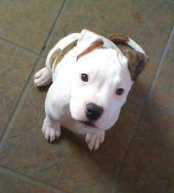 Pit Bull Puppy. Those eyes make my heart melt. So innocent and precious.: Animals, Dogs, Puppys, Pitbull Puppy, Pit Bull Puppies, Baby Pit