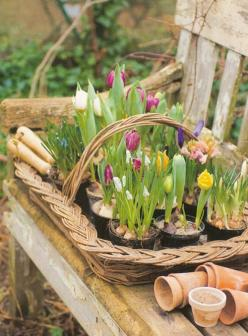 Plant bulbs in Fall for this spring bloom: Spring Flowers, Ideas, Spring Bulbs, Outdoor, Tulip, Gardens, Gardening