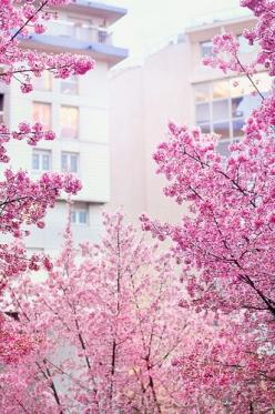 Pretty Spring Pink Tree #photos, #bestofpinterest, #greatshots, https://facebook.com/apps/application.php?id=106186096099420: Spring Blossom, Pink Flowers, Things Pink, Pink Blossom, Pretty Pink, Pink Pink, Garden, Cherry Blossoms