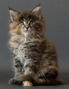 Price range of Maine Coon Kitten.Click the picture to read: Maine Coons, Kitty Cat, Animals, Maine Coon Cats, Maine Coon Kittens, Kitty Kitty, Main Coon, Baby