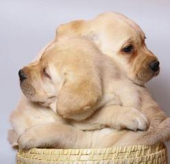 "Puppies: ""Don't worry Bro., I've got you, hold me tight: We're in this together..."": Puppy Hugs, Puppies, Animals, Dogs, Puppy Love, Pet, Puppys, Labrador"