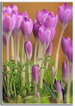 purple crocuses: Spring Flower, Spring Crocus, Beautiful Flowers, Purple Crocus, Garden, Crocus Flowers, Purple Flower