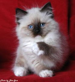 """ragdoll kitten. if we ever get a cat...this is what we'll get. my son says we will name him """"george washington"""". perfect. haha.: Ragdoll Cats And Kittens, Animals, Pets, Adorable Cats Kittens, Ragdoll Kittens, Rag Dolls, Cats White Siamese Rag"""