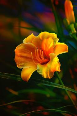 Rainbow Daylily Heat by Bill Tiepelman: Bill Tiepelman, Daylily Heat, Rainbow Daylily, Color, Rainbows, Beautiful Flowers, Garden, Photo, Flower